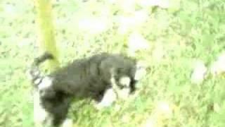 Abella Barba Kennel - Miniature Schnauzer Puppy - Black Tie