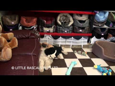 Little Rascals Uk breeders New litter of Pugaliers - Puppies for Sale 2016