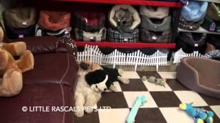 Little Rascals Uk Breeders New Litter Of Pugaliers - Puppies For Sale 2016