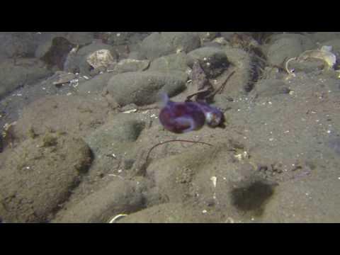 Puget Sound, Stubby Squid...