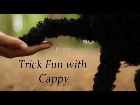 Trick Fun with miniature poodle Cappy