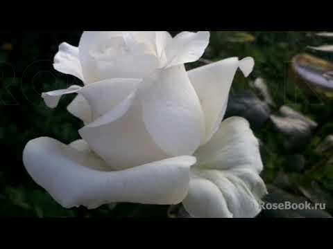 Топ 30!Rose!Они должны расти у каждого!Сорта чайно гибридных роз,что поселились в моем саду и сердце