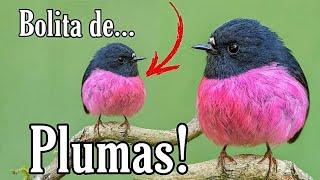 Bolita de Plumas!  Pink Robin awww que tierno 🥰💕🐦