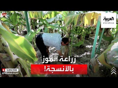 باستخدام الزارعة النسيجية.. نجاح أول محاولة لإنتاج الموز في البصرة  - 14:56-2021 / 6 / 17