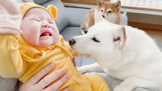 (Dogs And Babies) Dogs are Worried Because the Baby is Keep Crying