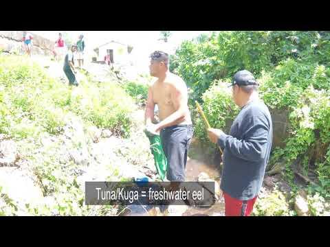 catching freshwater eels in American Samoa
