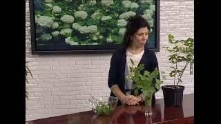 видео Размножение калины бульденеж черенками: посадка и уход за растением