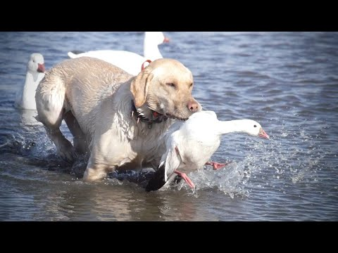 Spring Snow Goose Hunting 2020