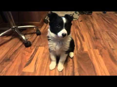 Mia Border Collie Puppy Training