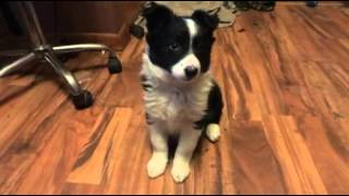 Mia Border Collie Puppy Training