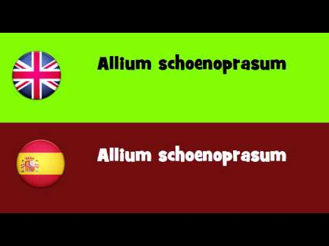 FROM ENGLISH TO SPANISH = Allium schoenoprasum