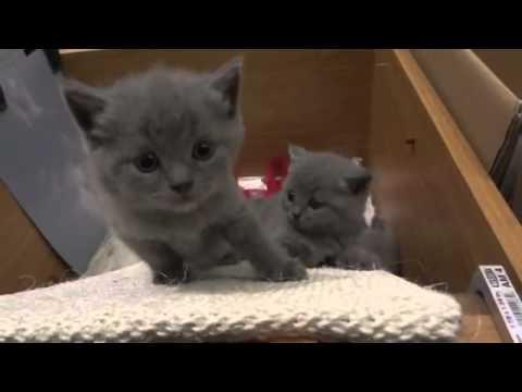 Piccoli Cuccioli Di Gatti Certosini Youtube