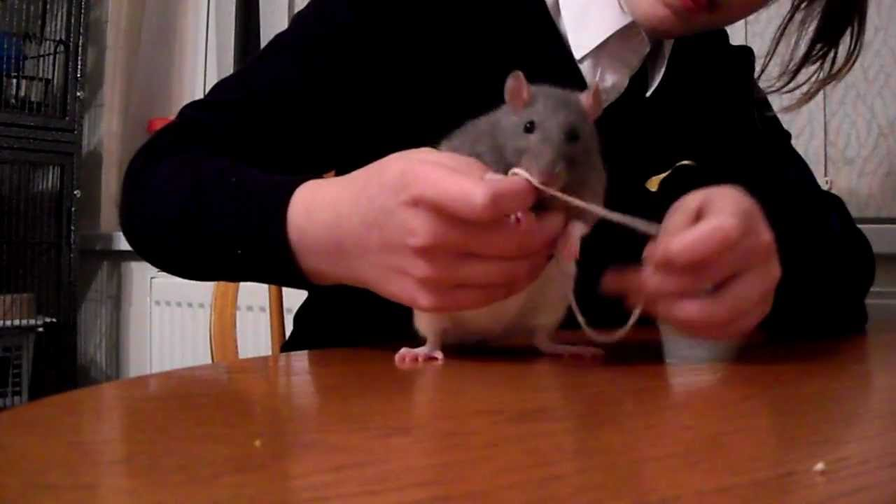 make a homemade rat harness - YouTube