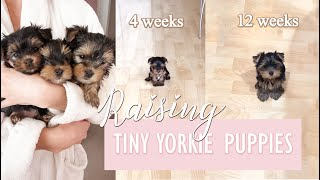RAISING TINY YORKIE PUPPIES ♡ Age 3  12 Weeks