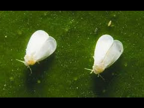 How To Fix A White Fly Problem In Your Vegetable Garden