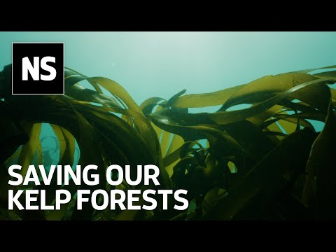 Can kelp forests recover after trawler fishing ban?