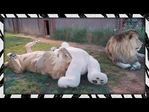 Lions Vs. Bear!