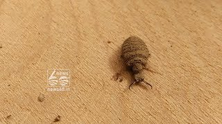 information about antlion