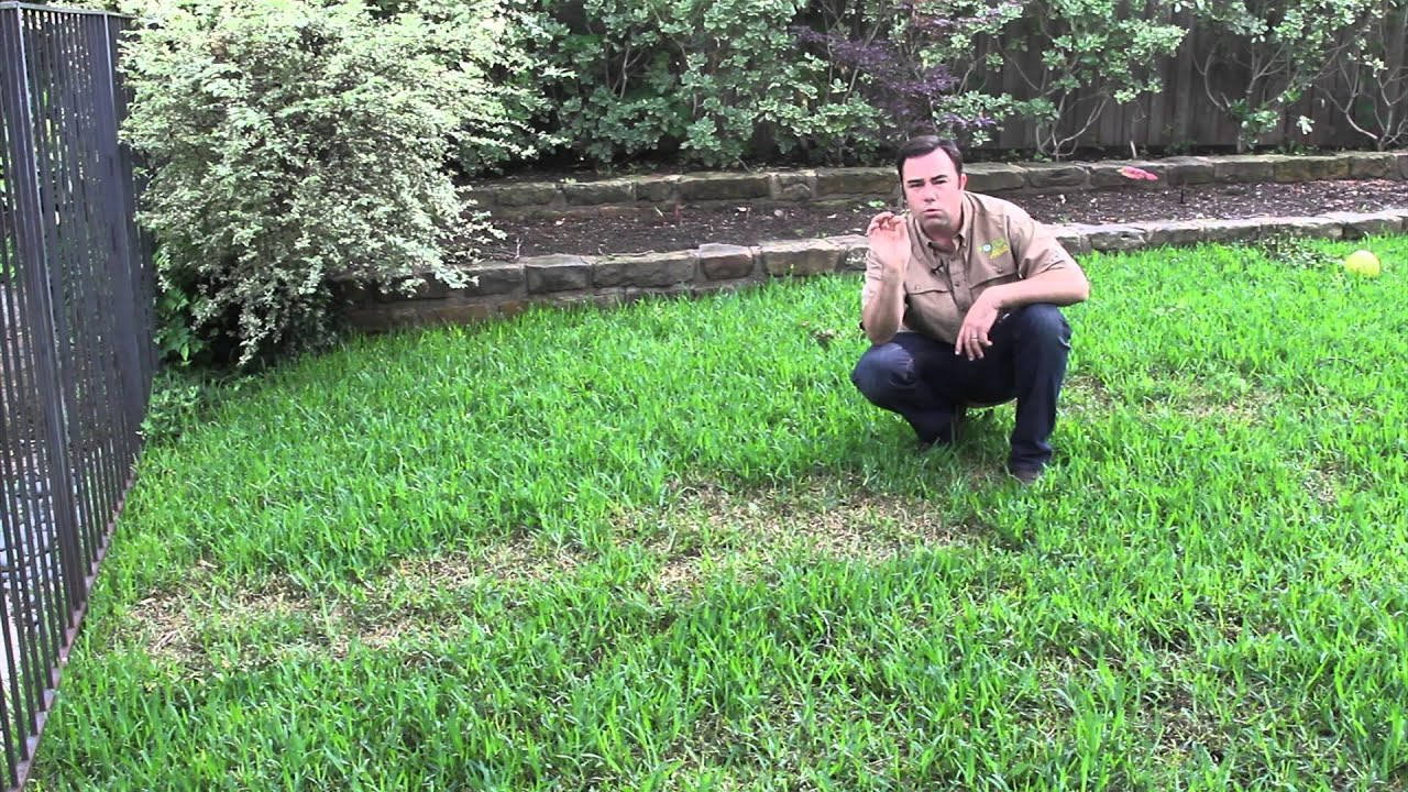Soils Alive Brown Patch Disease In St Augustine Lawn