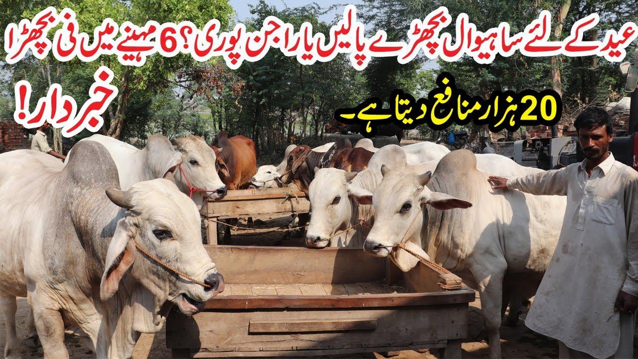 Sahiwal Calves VS Rajanpuri Calves Farming For Eid   20 Thousand Profit Per Calf   Bachra Farming
