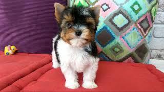 Собаки породы Бивер-йорк, супер мальчик, мини-стандарт