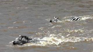 Crocidile Attacks Zebra Crossing The Mara River.