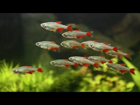 5 Jenis Ikan Schooling Aquascape Schooling Fish Youtube