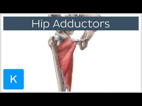 Anatomy Of The Hip Adductor Muscles - Human Anatomy |Kenhub