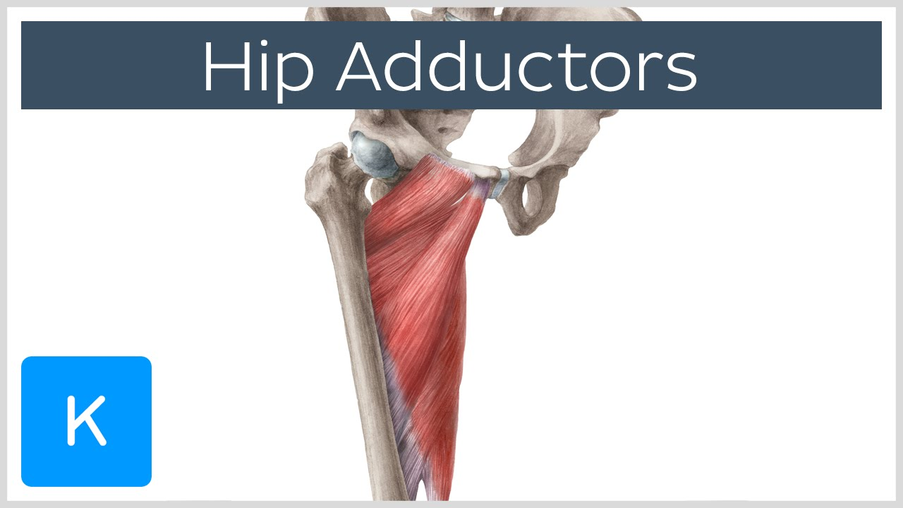 Anatomy of the Hip Adductor Muscles - Human Anatomy | Kenhub - YouTube