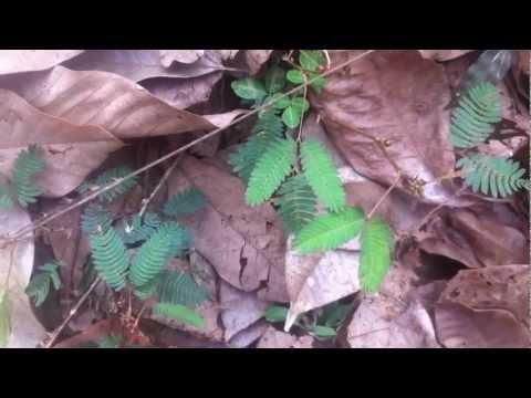 Faszination Natur  -  Die Mimose (Mimosa Pudica)