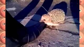 Нападение бешеного ежика - Потешные животные