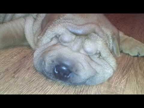Очень смешной щенок шарпея спит и храпит