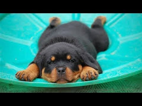 3 Month Old Rottweiler Puppy Ask You For Food 6 In The Morning Youtube