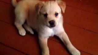 Собака породы  лабрадор. Интересное видео про животных.
