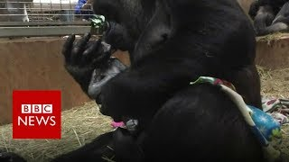 Gorilla gives birth at Smithsonian National Zoo - BBC News