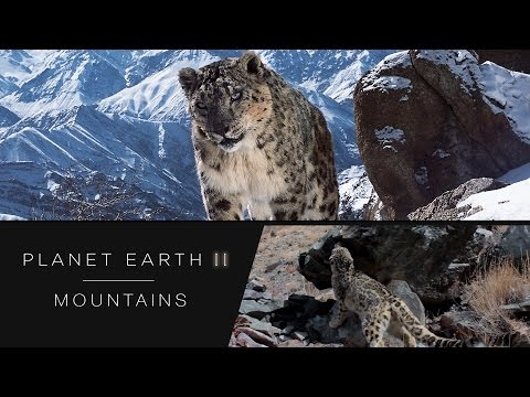 Rare snow leopards caught on camera - Planet Earth II: Mountains Preview - BBC One