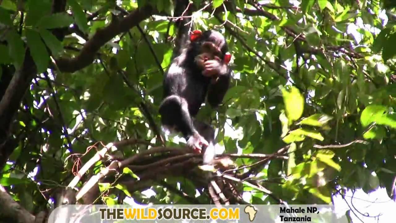 Chimpanzee | Will Burrard-Lucas