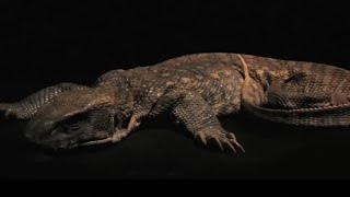 Monitor Lizard Decomposition Time Lapse - BBC Earth