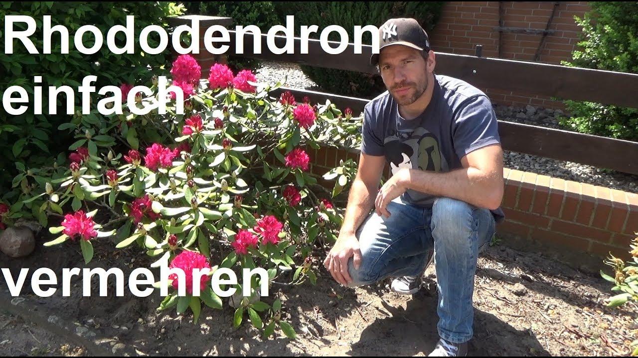 Top Rhododendron durch Ableger vermehren Steckling Absenker Samen RL73