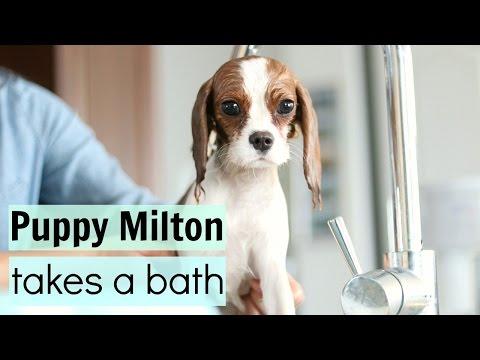 Puppy Milton Takes a Bath | Cute Cavalier King Charles Spaniel Dog