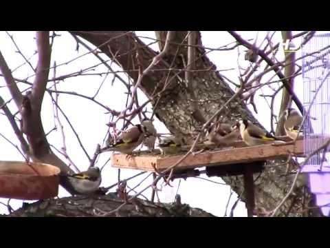 Западки для ловли птиц своими руками фото 764