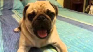 Dog Yawning (pug) (carlino)