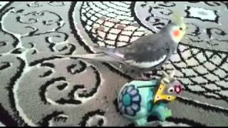 طريقة اخراج الكروان من القفص وإرجاعه_ How the bird out of the cage and attributing