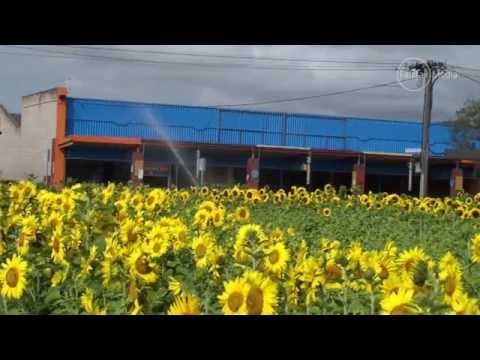 Vacant town block now a stunning sea of sunflowers by Fairfax Media