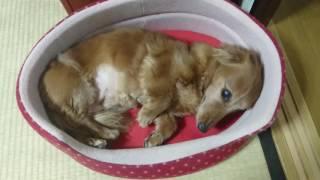 寝起きでむにゃむにゃするウイル(ミニチュアダックスフンド、♀、13歳)...