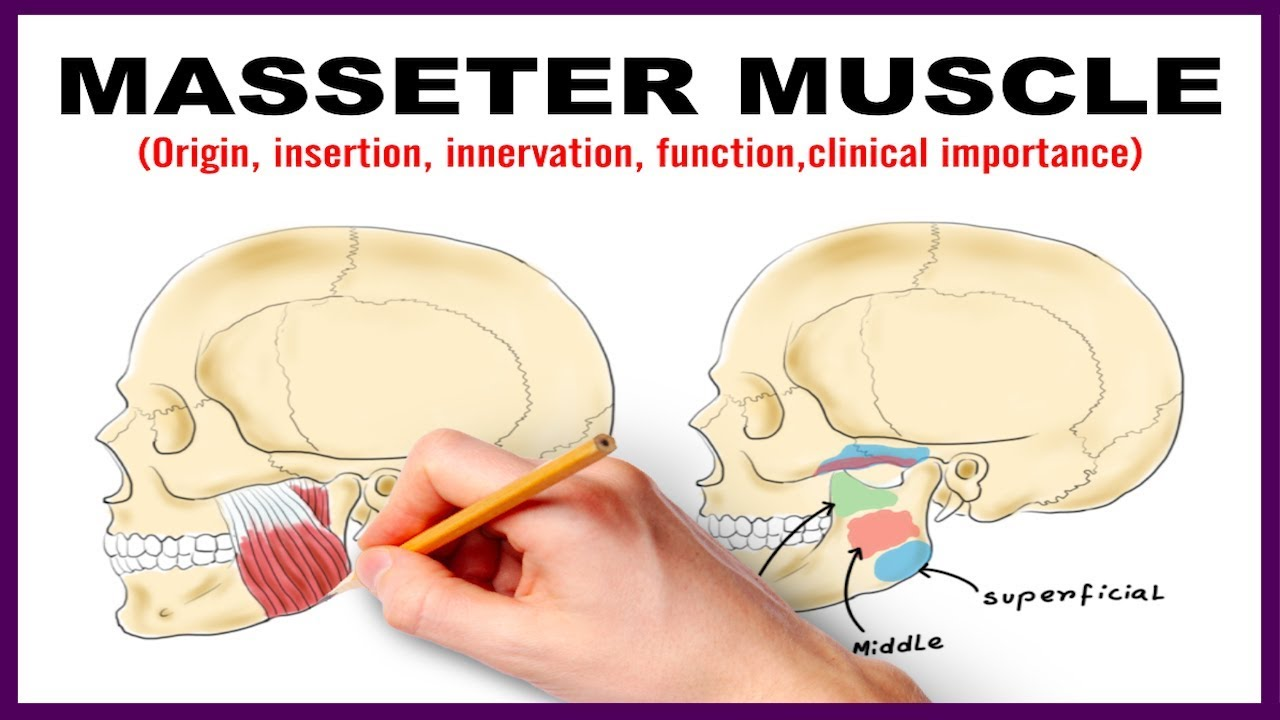 Masseter Muscle Origin Insertion Nerve Supply Clinical