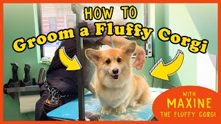 How to Groom the FLUFFIEST CORGI on Instagram