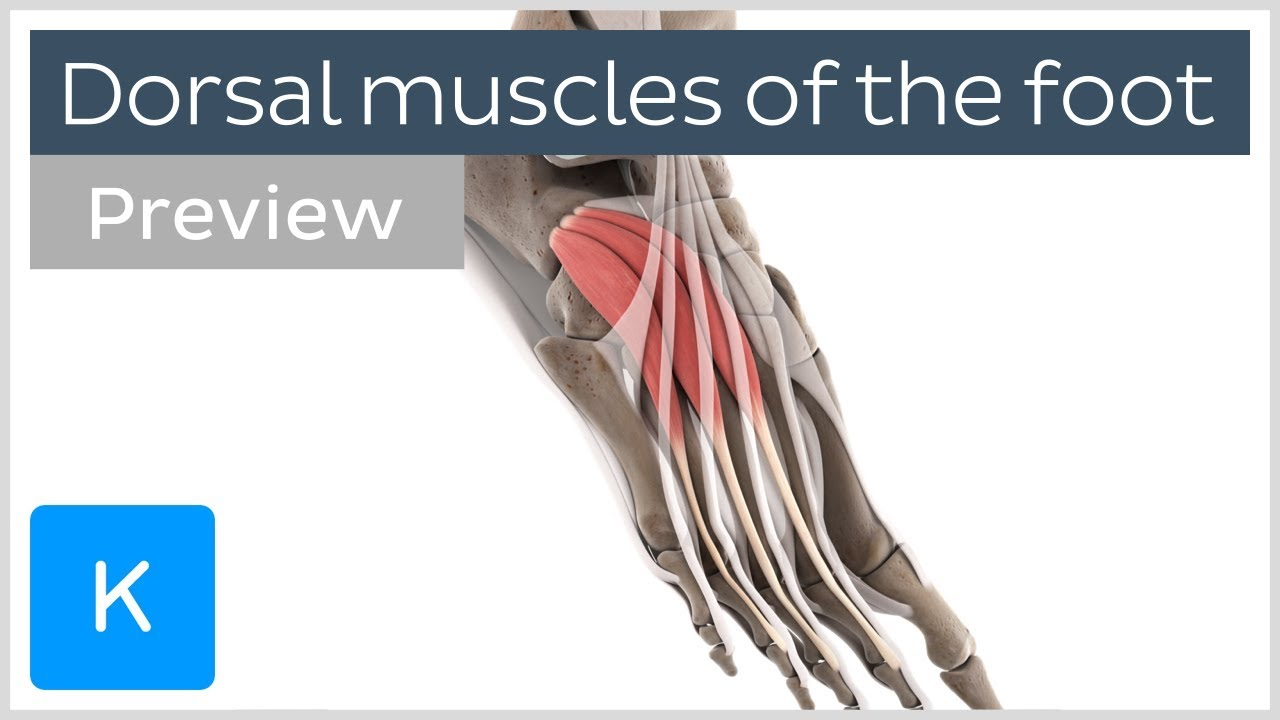 Functions Of The Dorsal Muscles Of The Foot Preview 3d Human