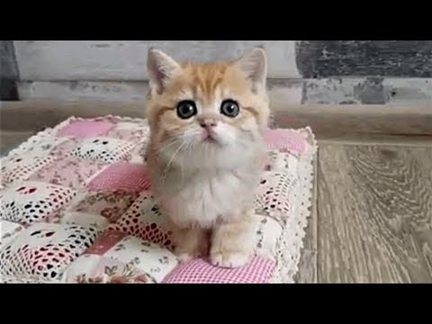 Adorable British Shorthair Golden Kittens