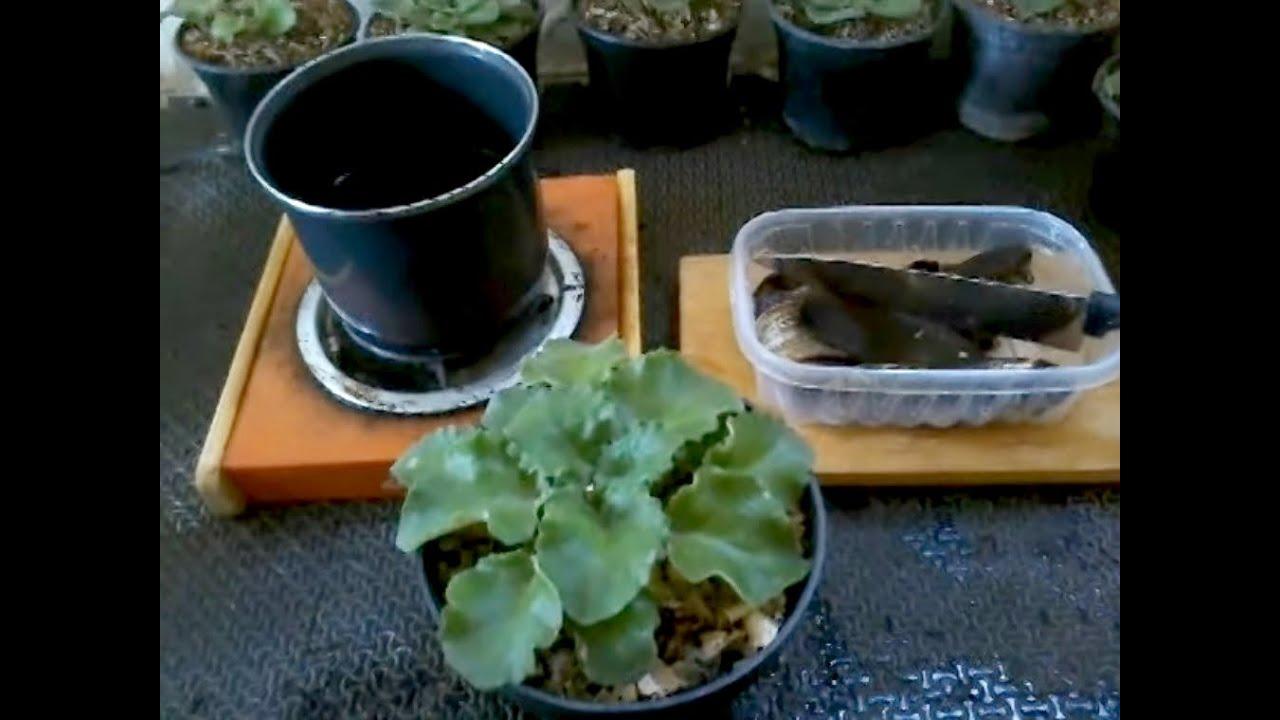 violetas africanas receta para tener mas flores con té de cascara de plátano